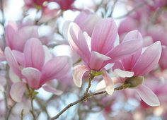 saucer magnolias= absolutely beautiful for yard landscaping! Exotic Flowers, Amazing Flowers, Purple Flowers, Flor Magnolia, Magnolia Flower, Sweet Magnolia, My Flower, Flower Power, Magnolia Soulangeana