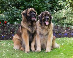 Leonberger Dog Portrait Photo Shoot