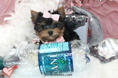 Some of the Tiniest, Most Beautiful Teacup Yorkie Puppies in the World! Teacup Yorkie and Small Toy Yorkies for Sale. See the Best! Micro Teacup Yorkie, Teacup Yorkie For Sale, Teacup Chihuahua Puppies, Yorkies For Sale, Yorkie Puppy For Sale, Super Cute Puppies, Cute Dogs And Puppies, Puppies For Sale, Baby Yorkie