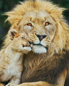 48 Ideas Funny Animals Pictures Lion For 2019 Cute Baby Animals, Animals And Pets, Funny Animals, Big Cats, Cats And Kittens, Cute Cats, Lion Pictures, Funny Animal Pictures, Beautiful Cats