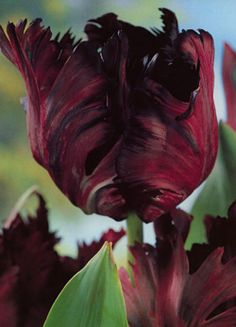 the Black Parrot tulip