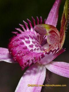 Rose Spider Orchid: Arachnorchis applanata ssp erubescens [Syn. Caladenia applanata ssp. erubescens]