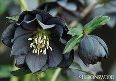 Helleborus x hybridus 'onyx odyssey'