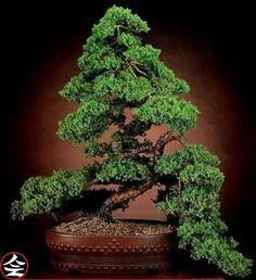Juniperus, 25 years old