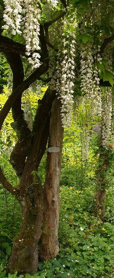 Beskæring giver blomst i blåregn.Havehjælp af havekonsulent