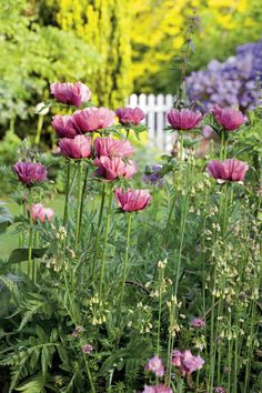 Pavot d'orient ou Papaver orientale : 8 idées pour l'associer au jardin - Blog Promesse de fleurs