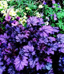 Purple : Amethyst Myst Heuchera (Heuchera) : 10″ with 20-26″ flower stems : part sun to full shade : blooms late spring to early summer