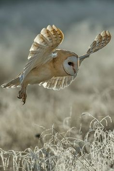 *Barn Owl in Flight