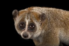 A pygmy slow loris, Nycticebus pygmaeus, at Omaha's Henry Doorly Zoo and Aquarium. Photo by Joel Sartore/National Geographic Photo Ark.