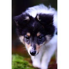 Cutest pup - Milou 11 weeks  #sheltiemilou