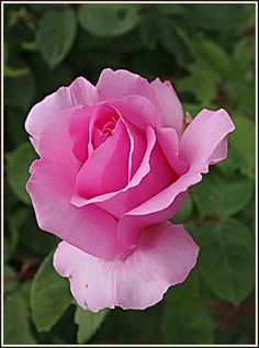 Roses du jardin - (mcp) Pretty Flowers, Pink Roses, Natural, Gardens, Beauty, Roses, Beautiful Flowers, Pretty Pictures, Nature