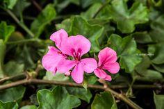 está flor media purpura con rosada estaba a lado de la flor anterior q tome recién creciendo