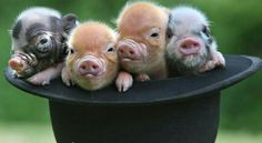 Adorable piggotts....