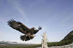 """Steinadler"" a way of eternity Golden Eagle, Forest Animals, Predator, Eagles, Bald Eagle, Wings, Artsy, Board, Creative"