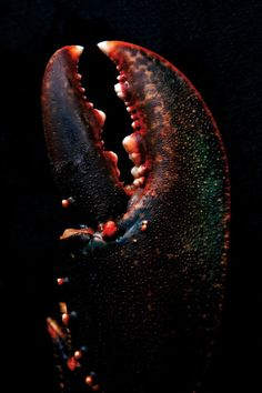 Close up of lobster claw against black background , Food Photography Styling, Macro Photography, Food Styling, Crab And Lobster, Fish And Seafood, Live Lobster, Lobster Fishing, Seafood Diet, Food Design