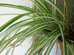 Spider Houseplant Airplane Plant Chlorophytum Organic & All Natural Plant Food … - House Plants Indoor Water Garden, Garden Plants, Indoor Plants, House Plants, Indoor Gardening, Indoor Orchids, Water Gardens, Air Plants, Herb Garden