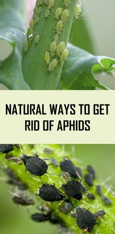 Get Rid Of Aphids, Getting Rid Of Aphids, Outdoor Plants, Outdoor Gardens, Aphids On Plants, Seed Germination, Beneficial Insects, Garden Seeds, Gardens