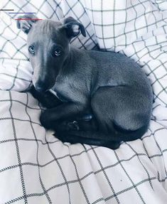 Whippet Puppies, Whippets, Cute Puppies, Cute Dogs, Dogs And Puppies, Doggies, Blue Whippet, Animals And Pets, Cute Animals