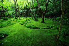 京都 祇王寺 苔 青もみじ Japan,Kyoto,Gio-ji temple,moss,blue maple