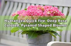 About The Quick Fire Hydrangea  A member of the Pee Gee family, this shrub is amazing. The blooms on this hardy shrub begin as a creamy white color, then turn to a light pink and finish off a deeper rose color. Mine is planted at the pond's edge (in full sun) and the blooms have turned a few heads. Pruning... - #hydrangea #quick fire #blooms #garden #shrub #plant #blooming #hydrangeas