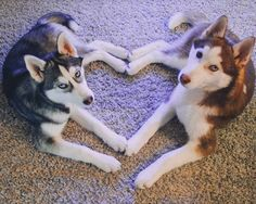 husky do the heart