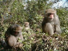 MACACO - Macaco de Formosa- GrouprestingontreePhotoDrMinnaJHs