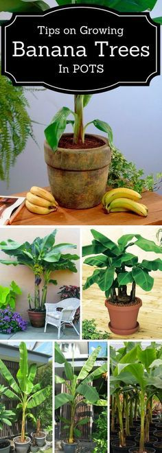 Gardening tips for growing banana trees in pots or containers.