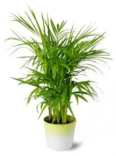 Bamboo Palm--safe for cats and improves air quality indoors