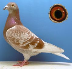 Tumley Lofts Stud. Long and Extreme Distance racing pigeon stock ...