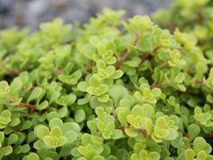 Sedum makinoi 'Ogon' - Golden Japanese Stonecrop is a tiny-leaved, spreading, ground cover Sedum that is noted for its bright gold foliage...