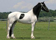 Barockpinto mare Carmen of the same Czech breeding farm as stallion Lanos.