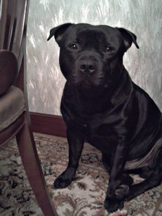 3 years old staffordshire bull terrier. Thor