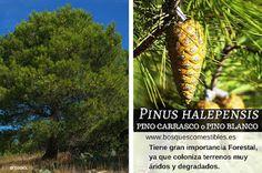 Pinus halepensis   PINO CARRASCO