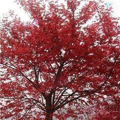 Ucuz buckmax amerikan kırmızı akçaağaç ağaç tohumları 5 adet, Satın Kalite Bonsai doğrudan Çin Tedarikçilerden: Lütfen sorgu sipariş durumu sistemimizde sevk sonra.amerikan kırmızı akçaağaç ağaç tohumları 5 adetresim 0 amerikan kırm