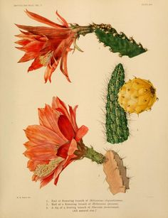 v.2 - The Cactaceae : descriptions and illustrations of plants of the cactus family / by N.L. Britton and J.N. Rose. - Biodiversity Heritage Library