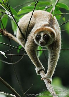 Researchers have discovered an entirely new species of slow loris, Nycticebus kayan, on the island of Borneo. - Credit: Ch'ien Lee