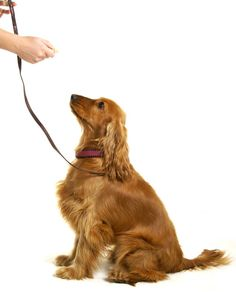 Training your puppy is about building your relationship with your pet dog and setting up boundaries. Be firm but consistent and you will see amazing results in your dog training work. Dog Minding, Cockerspaniel, Easiest Dogs To Train, Dog Barking, Dog Training Tips, Potty Training, Training Quotes, Training School, Training Videos
