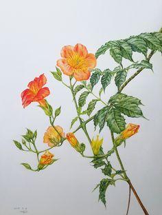 by 까실. 능소화, 보태니컬아트, 보타니컬아트, Chinese trumpet creeper, botanical art, 수채색연필, watercolored pencil