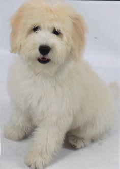 Goldendoodle Dog Breeders - Goldendoodle Puppies For Sale - Moss Creek Goldendoodles