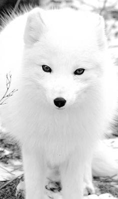 Renard blanc