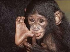 21 Massively Adorable Primates Sucking On Their Thumbs