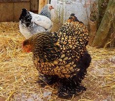 Golden laced cochin hen.