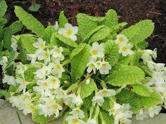 Kevätesikko ilahduttaa ensimmäisten kukkien joukossa keväällä