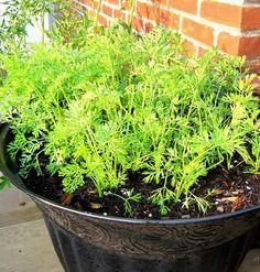 growing carrots on balcony