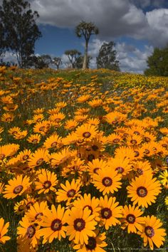 Daisy, (Asteraceae), West Coast, Langebaan, South Africa