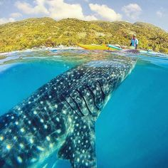 Hotels-live.com/pages/comparateur-hotels.html - Whale Shark in Oslob Cebu photo by @jaypeeswing by awesomedreamplaces https://instagram.com/p/8LQ_TUFNiC/