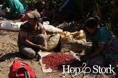 Op de koffie plantage: de rijpe bessen worden gesorteerd. www.hopenstork.com