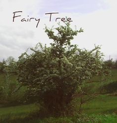 Fairy trees are often hawthorne and stand solitary in farm fields.  This one is close to the Shannon Pot, the well spring of Ireland's longest river.