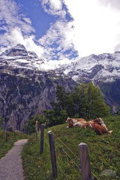 Villers-le-Lac - Saut du Doubs - Cows resting - Doubs dept. - Franche-Comté region, France     .....tripwow.tripadvisor.com