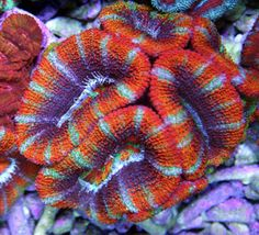 Acanthastrea lordhowensis soft coral